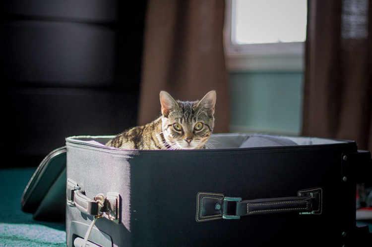 transport a cat